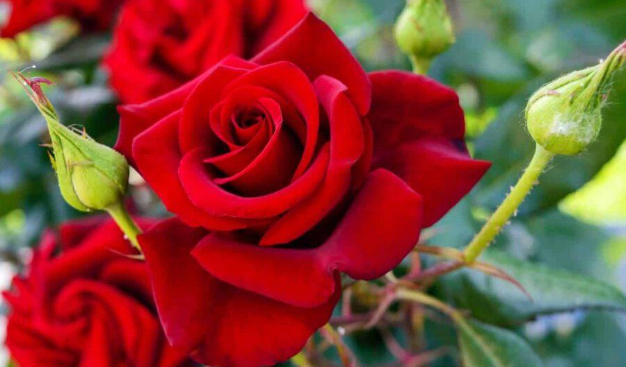 czerwone krzewy roz